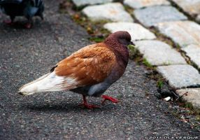 Pigeon of a different colour by imonline