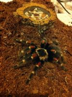 Mexican Flame Knee Tarantula (15) by emmys-stock