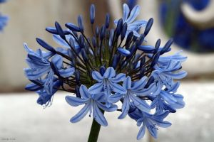 Agapanthus by George---Kirk