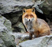 Red Fox by Kissemiss11