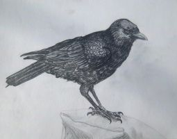 Crow Study by Griffkat