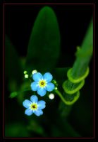 2 myosotis by RichardRobert