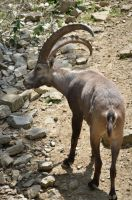 ibex I by mimose-stock