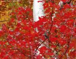 White Birch in Autumn III by mottymotty