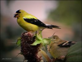 Birds  summer......Goldfinch... by gintautegitte69