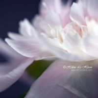 white-hot waterlily by kim-e-sens