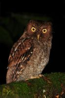 Vermiculated Screech Owl by robbobert