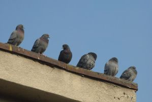 pigeons 10 by deepest-stock