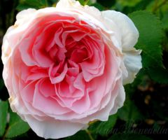 Cottage Rose by SamanthaLenore