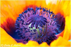 Inside The Poppy by CecilyAndreuArtwork