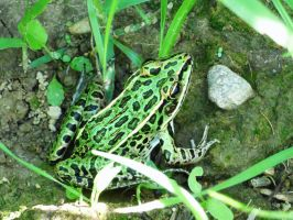 Northern Leopard Frog by AppleBlossomGirl