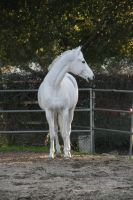 white horse stock 2 by Aestivall-Stock