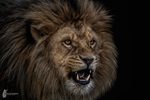 Lion Portrait by Fotostyle-Schindler