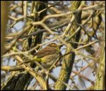 Palm Warbler by StormPetral0509