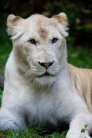 6010 - White lion by Jay-Co