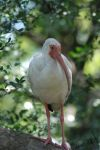 White Ibis by Wingshaft