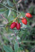 DSC 0017 Rose Hips 4 by wintersmagicstock