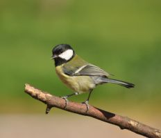 Great Tit-Parus Major by Debs-Rain