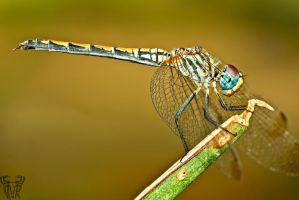 dragon fly side V by 77asann