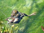 Treesome of Frogs by agglagla
