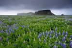 One Million Lupines, Iceland by Brettc
