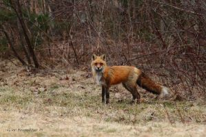 Red Fox stare down by natureguy