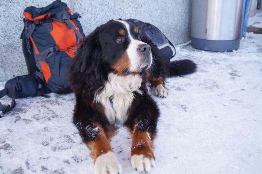 Bernese Mountain Dog Stock 1 by JArcher-Stock