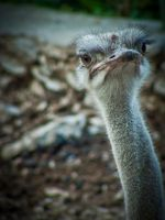Ostrich by v4nity
