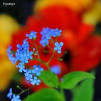 Myosotis  sur Orange I by hyneige