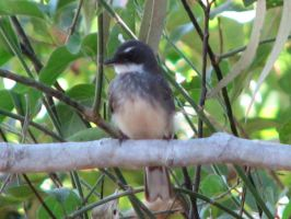 Northern Fantail by The-DeathAngel