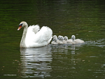 2015 the swan family by Mogrianne