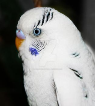 Fluff, the snow white budgie by RadiantCharizard