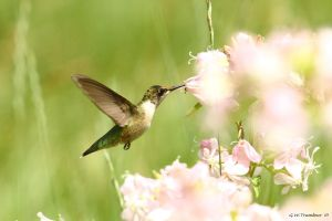 Humming bird Cotton Candy by natureguy