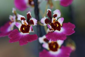 Dancing lady orchids 1 by a6-k