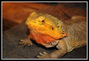 Golden Lizard by XxSoulHunterxX