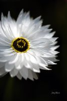 White Daisy by jot-woo