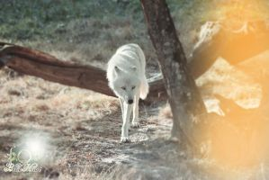 Wolf White by Siana54