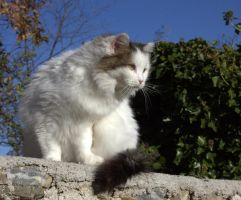 White cat with winter fur by riviera2008