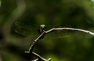 Timmy the Dragonfly (Color) by mxjerrett