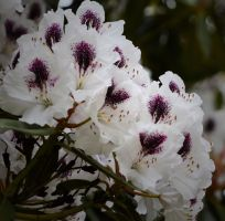White Rhododendron by MayEbony