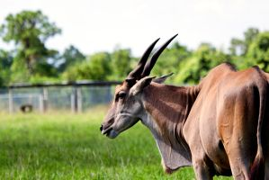 Common Eland by TomFawls