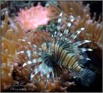 Lion Fish by CaryAndFrankArts