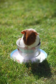 Guinea Pig Tea No.1 by Zombie-Jaw