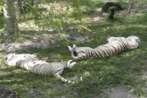 Sleeping White Tigers by Della-Stock