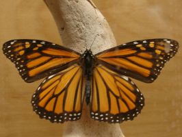 Female Monarch Butterfly by FantasyStock