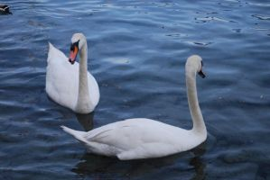 Swans I by spectral-stock