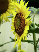 Sparkly sunflower by Mogrianne