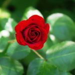 a rose 1 by st2wok