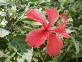 Hibiscus with varigated leaves by Twister4evaSTOCK