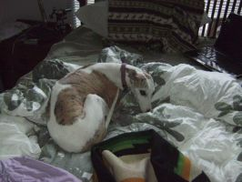 A Messy Bed plus a relaxed Whippet by CascadiaSci
